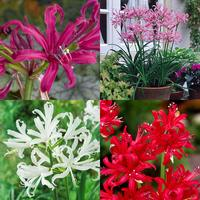 16 Nerine Collection (Guernsey Lilies)