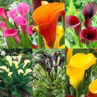 6 Zantedeschia Calla Lily Collection