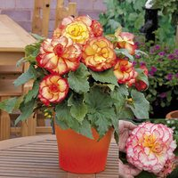 60 Begonia Majestic Collection (Garden Ready)