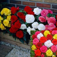 60 Begonia Non-Stop Collection (Garden Ready)