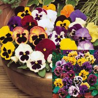 60 Pansy Summer Collection (Garden Ready)