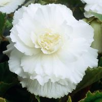3 Begonia Double Exhibition White 5/6cm
