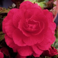 3 Begonia Double Exhibition Pink 5/6cm