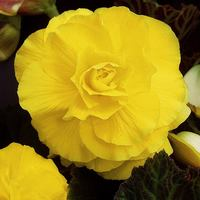 3 Begonia Double Exhibition Yellow 5/6cm