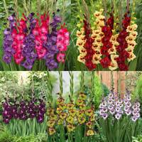 70 Gladioli glamourglad Collection