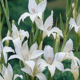 15 Gladioli nanus The Bride