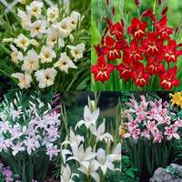 Gladioli Nanus Collection