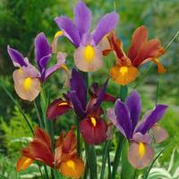 25 Iris Dutch Tiger Mixed