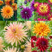 6 Dahlia Large Flowering Cactus Collection
