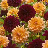 6 Dahlia Decorative Duo Collection