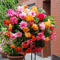 6 Begonia Balcony Collection