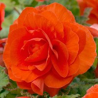 5 Begonia Double Orange 3/4cm
