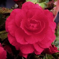 5 Begonia Double Pink 3/4cm