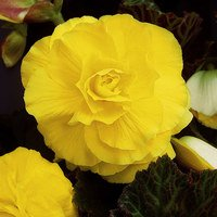 5 Begonia Double Yellow 3/4cm