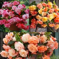 9 Begonia Splendide Collection 5/6cm