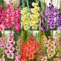 60 Gladioli Large Flowering Bicolour Collection