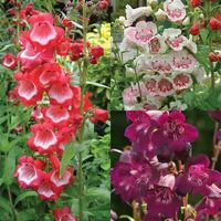 Penstemon Ice Cream Collection