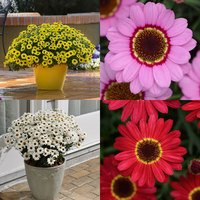 6 Argyranthemum Grandaisy Collection