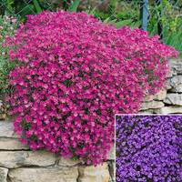 6 Aubrieta Cascade Collection