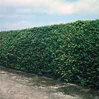 Beech Hedging (Green)
