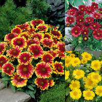 18 Gaillardia Collection