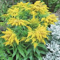 6 Solidago Golden Dwarf