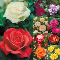 10 Rose Hybrid Tea Collection