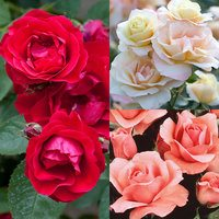 Rose Queen Elizabeth Collection