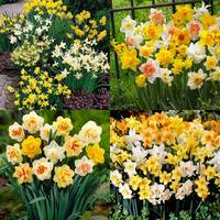 150 Daffodil Mixtures Collection