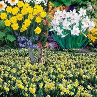 Daffodil British Heritage Collection