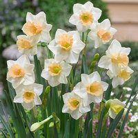 15 Narcissi Sweet Smiles 10/12cm
