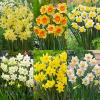 90 Narcissi Jonquilla Collection 10/12cm