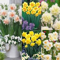 75 Daffodil Double Collection