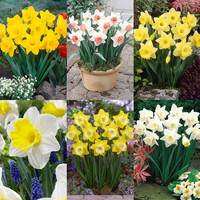 90 Daffodil Trumpet Collection
