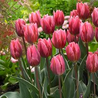 10 Tulip Pretty Princess