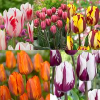 50 Tulip Rembrandt Collection