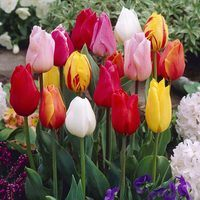 15 Tulip Single Early Mixed 11/12cm