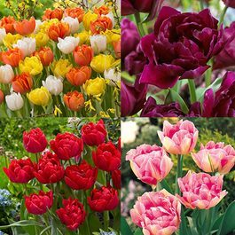 60 Double Early Tulips Collection