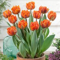 10 Tulip Orange Princess