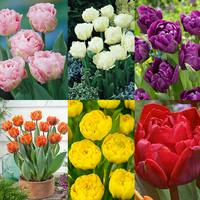 Tulip Double Late Peony Collection