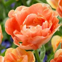 10 Tulip Orange Angelique