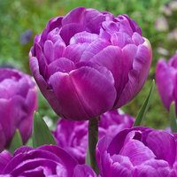 10 Tulip Blue Diamond