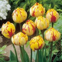 10 Tulip Golden Nizza