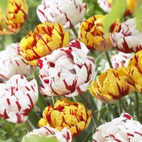 20 Tulip Golden Nizza/Carnival De Nice Collection
