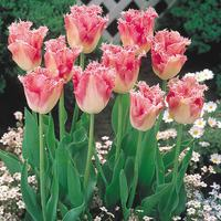 10 Tulip Fancy Frills