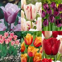 60 Fringed Tulip Collection