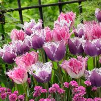 20 Tulip Fringed Collection