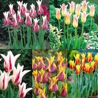50 Tulip Lily Flowering Bicolour Collection