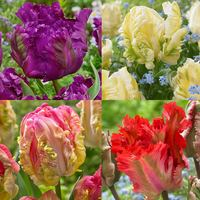 40 Parrot Tulip Collection