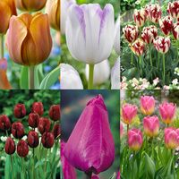 90 Tulip Triumph Collection